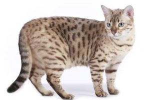 expensive-cat-breeds2-lg