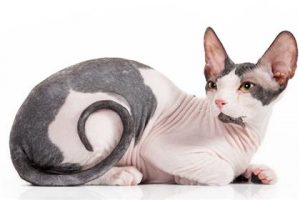 expensive-cat-breeds7-lg